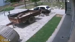 رجل يسرق بقرة !  *-*