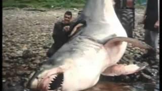 Uno dei più grandi squali mai filmati