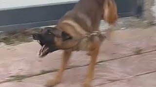 الكلب (الراعي البلجيكي ) مع جمال العمواسي