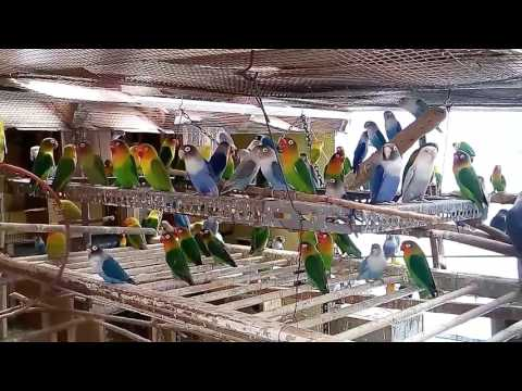 Lovebird juara ngekek di kandang koloni agapornis aviari