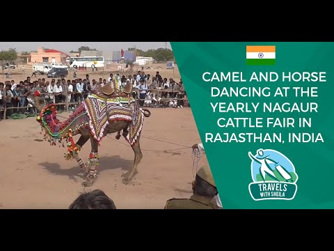 Camel and Horse Dancing at The Yearly Nagaur Cattle Fair in Rajasthan India Travels with Sheila