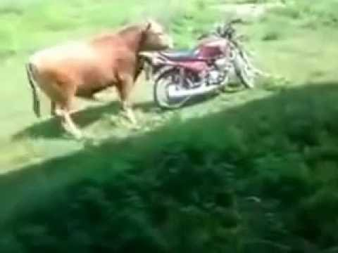 Cow Mating With Motorbike Best funny