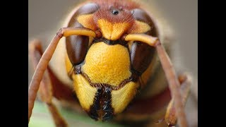 Шершень - Друг или Враг Пчеловода?