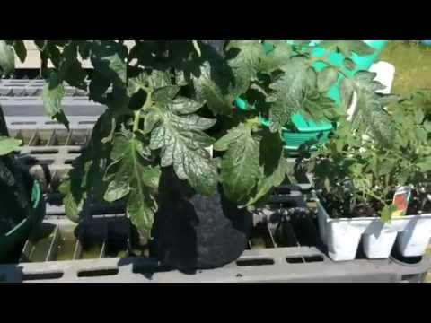 watch How To Make Some Money While Having Fun Growing Tomatoes!