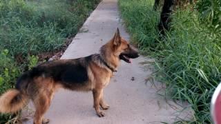 Buổi sáng DẪN POLO ĐI DẠO  và chọc chó trong xóm - My lovely bodyguard POLO