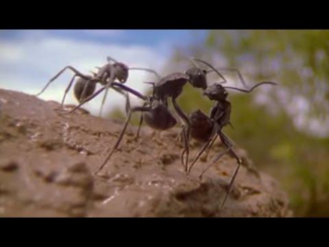 Xxx Mp4 Ants Attenborough Life In The Undergrowth BBC 3gp Sex