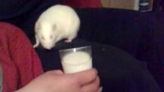 My sweet rat drink malibu with milk