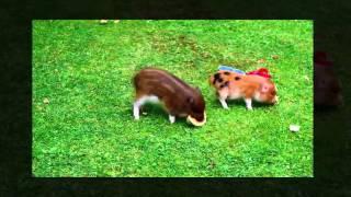 Mini Pig Very Cute Video HD