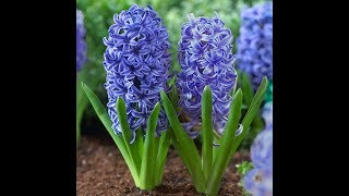 How To Replant Hyacinth - آموزش کاشت دوباره گل سنبل برای نوروز