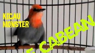 Burung cabe jawa gacor jinak tidak gila