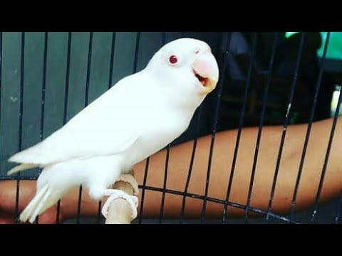 Lovebird konslet suara mesin diesel mantap!!