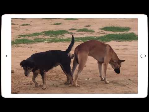 Dog Mating For The First Time Dog Mating Stuck Together dog fucking