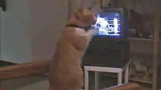 Box maçı izleyen kedi çıldırdı