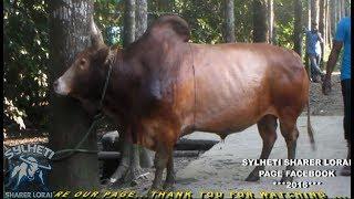 Sylheti Fighter Bull Motntilal 2016 Biswanath Baonpur