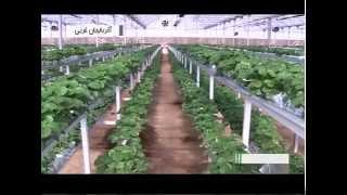Iran Greenhouse fruits, West Azerbaijan province پرورش ميوه گلخانه اي آذربايجان غربي ايران