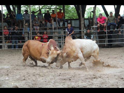 ชมรมกำนัน ผู้ใหญ่บ้าน ตำบลแม่ปะ จัดประกวดโคเนื้อ โคชน วัวชน สายพันธุ์ดีจังหวัดตาก