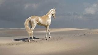 दुनिया का सबसे सुनहरा घोडा   Most beautiful & prettiest horse in the world Akhal Teke