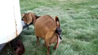 Boer goat giving birth to twins. Very Graphic! Not for the weak!
