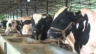 Cow Farming in Kushtia, Bangladesh - 1
