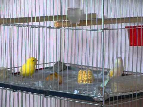 o canario galando a femea.avi