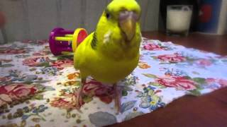 Budgie shakes hand and spins ~BUDGIE TRICKS~