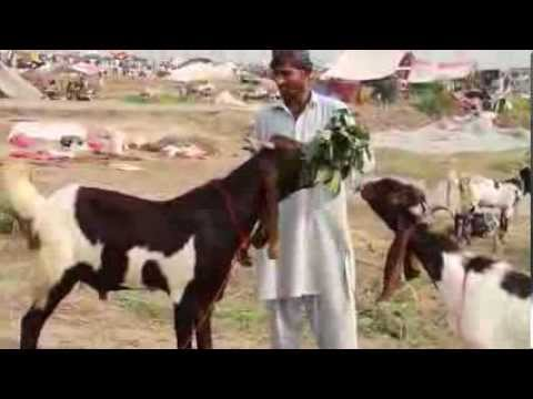 Call for Order on Mobile Eid ul Azha 12 Oct 2013 Goats Sheep Camels Cattle Cows Lahore Pakistan