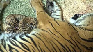 LIVE Tiger Birth Footage