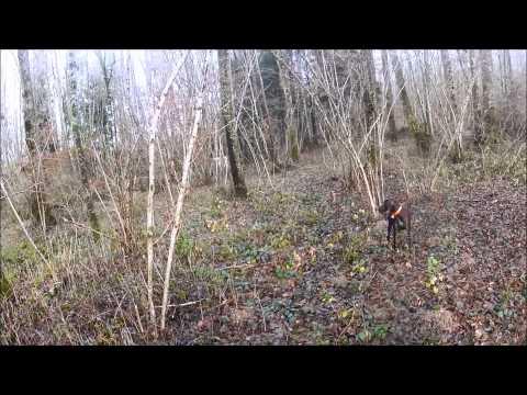 Chasse au faisan au chien d arrêt dans la plaine des Vosges braque allemand et Weimar gopro