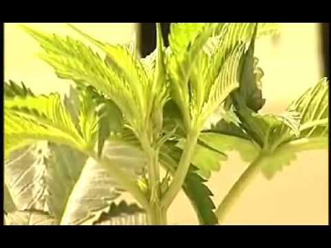 Como diferenciar el sexo de las plantas de marihuana