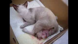 Cat giving birth, having her first baby, cat labor