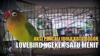 BRANDY WATCH : Lovebird PANCALI Ngekek Panjang Satu Menit Di Sangkar EBOD