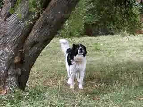 Karakachan Dog RANGEL TITO