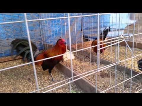 Gallos brown red churintzio