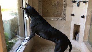Squirrel Ignores Barking Great Dane and Cat