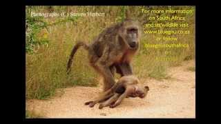 A Mother Baboon's Love