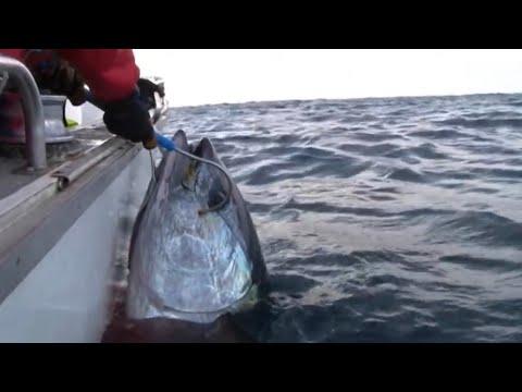GIANT SOUTHERN BLUEFIN TUNA on Stella YouFishTV Part 2