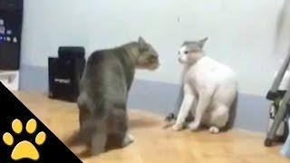 Ultimate Cat Fight