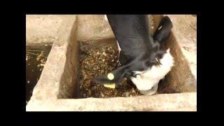 Kiambu farmer's fodder fortune