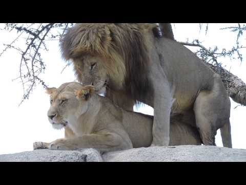 WARNING! VERY GRAPHIC! Lions mating in the Serengeti - #2