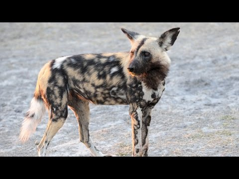 SOLO THE LONE WILD DOG VS HYENA
