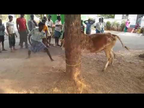 Jallikattu training my bull-ox