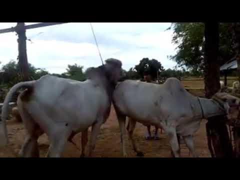 Xxx Mp4 Men Help The Bull Meet The Cow 3gp Sex