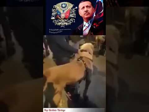 Hollanda konsolosluğu önünde TÜRKLER  Sivas kangalı ile protesto