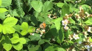 Butterflies and bumblebees on brambles at College Copse Farm
