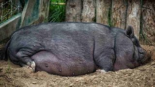 How to Trim Your Potbellied Pig's Hooves   Pet Pigs