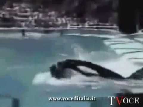 Exclusivo momento q a baleia Orca mata treinadora Dawn Brancheau