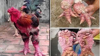 Dragon chickens of Vietnam: Dong Tao chickens has the Weirdest Legs and can cost a staggering £1,600