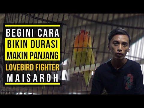 BEGINI CARA BIKIN DURASI LOVEBIRD FIGHTER MAISAROH MAKIN PANJANG