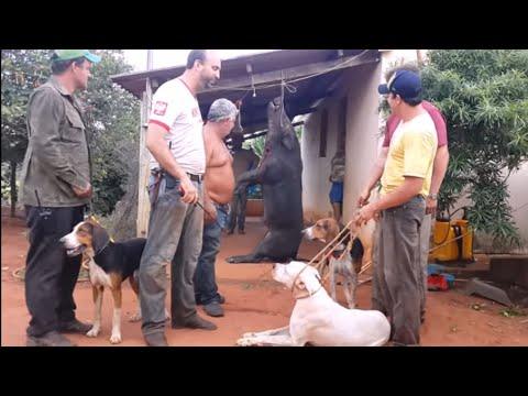 Javali Gigante Caçada Dogo Argentino e Americano