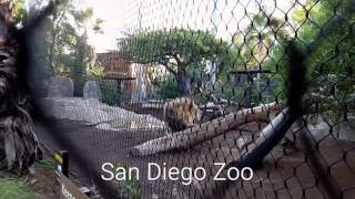 Lion Roars at the a San Diego Zoo
